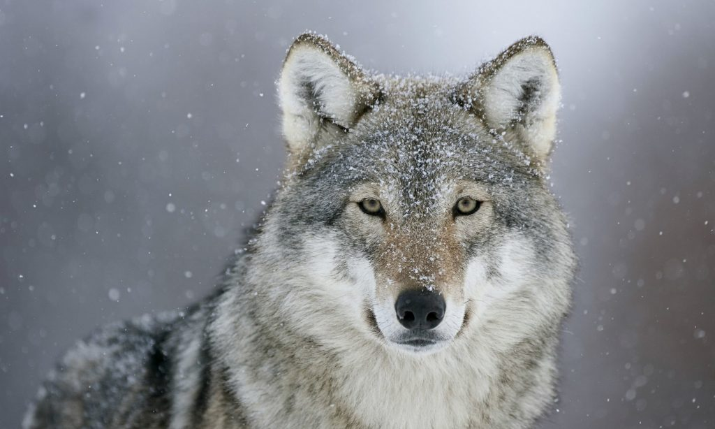 Wolf Wallpapers & Background New Tab