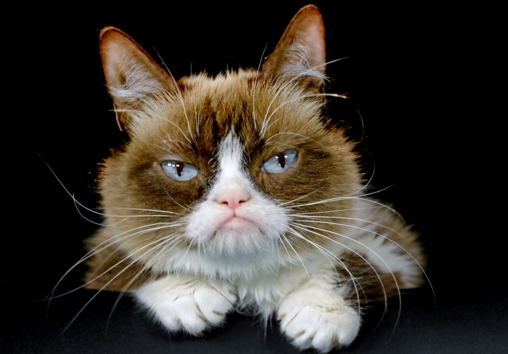 Grumpy Cat HD Wallpapers – Where is Grumpy Cat?