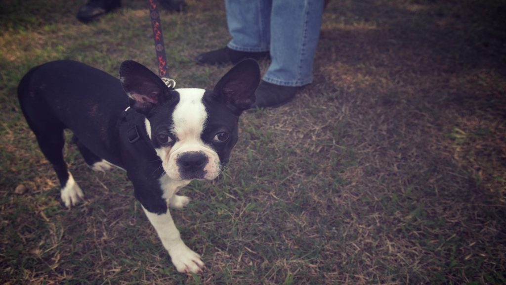 Boston Terrier Wallpapers – They Were Known by a Different Name?!