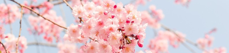 Amazing Cherry Blossom Tree Wallpapers