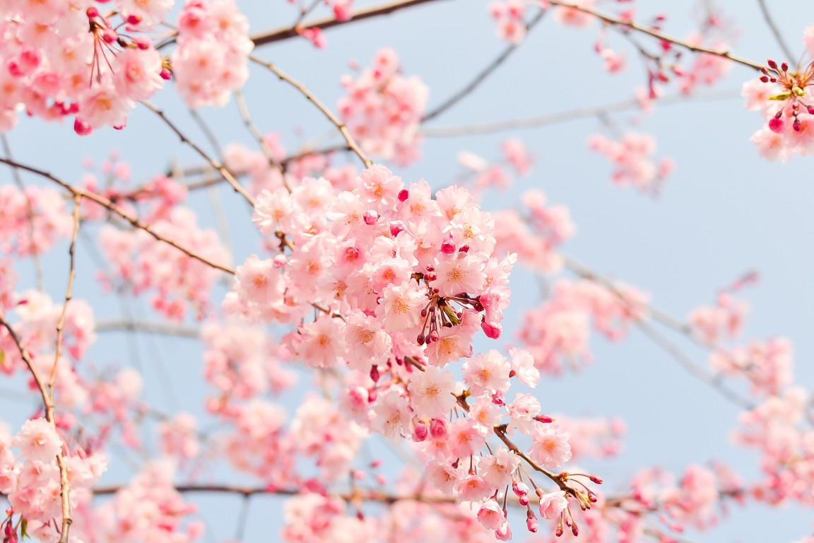 Amazing Cherry Flower Wallpapers