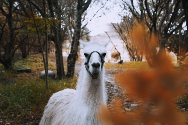 Facts About Llamas We Bet You Didn't Know