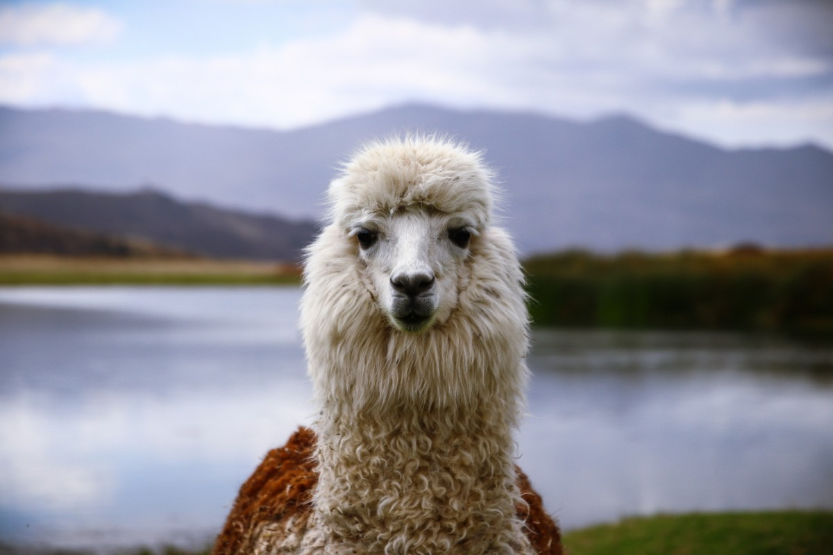 Amazing Funny Llama Wallpapers
