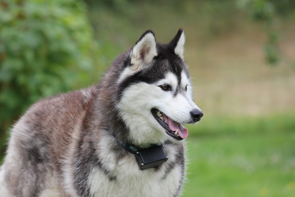 Siberian Husky Wallpaper HD