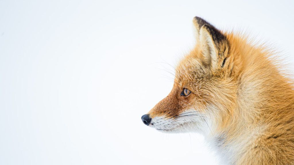 Are foxes cats or dogs? Cute fox themes